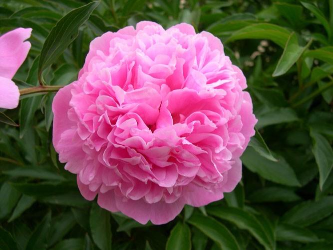 et si la fleur des masseurs  u00e9tait la pivoine   par alain cabello dimanche 25 mai 2009